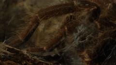 Tarantula close up in burrow Stock Footage