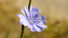 Bee collects nectar on blue chicory Stock Footage