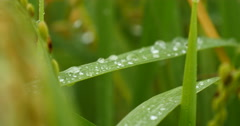 Fresh growth of rice grass on dew water Stock Footage