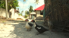 African ducks in the village Stock Footage