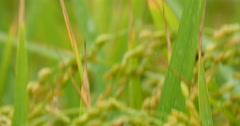 Dewdrop of rice field after rain Stock Footage