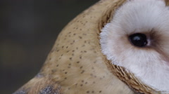 Barn owl moving head side to side Stock Footage