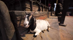 Goat has a rest near the Dattatreya temple at Bhaktapur Durbar square. Nepal Stock Footage