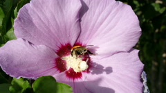 Bumblebee Hibiscus Flower Sunrise Stock Footage