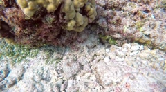 Snorkelling in the Maldives. Common Octopus Stock Footage