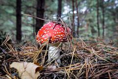 Nice fly agaric mushroom Stock Photos
