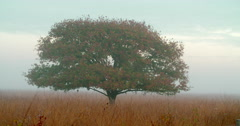 Misty landscape oak tree National Park Stock Footage