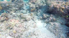 Snorkelling in the Maldives. Red tailed butterfly fish Stock Footage
