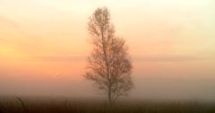 Lonely birch tree mist landscape at sunrise Stock Footage