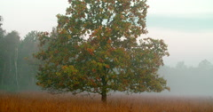 Misty landscape oak tree National Park Netherlands Stock Footage
