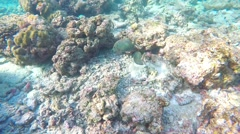 Snorkelling in the Maldives. Gold-spotted rabbitfish Stock Footage