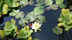 Red Fish Water Lily Pond Stock Footage