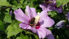 Bumblebee Hibiscus Stock Footage