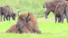European Bison. Female. Close-up. Stock Footage
