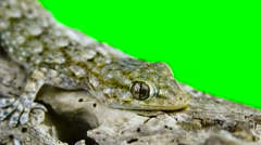 Gecko closely with chroma key background Stock Footage