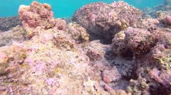 Snorkelling in the Maldives.  Common octopus changing color Stock Footage
