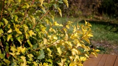 Autumn bush with yellow leaves Stock Footage