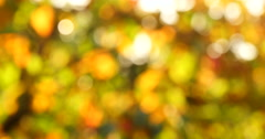 Defocuse illuminated in swaying golden leaves in autumn Stock Footage