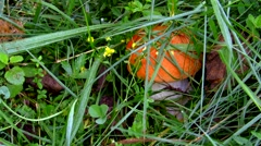 One red edible mushroom in the grass Stock Footage
