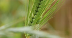 Green barley grow on a field Stock Footage