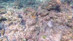 Snorkelling in the Maldives. Large green trumpetfish Stock Footage