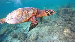 Snorkelling in the Maldives. Rare Hawksbill sea turtle Stock Footage