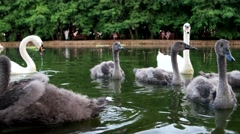 Swan family on the water in a beautiful green park for a family holiday. Birds Stock Footage