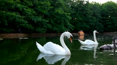 Family of swans on a lake swim and dip in the water. Swan lowers his head into Stock Footage