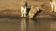 A lion drinks water from the mara river as its companions watch on Stock Footage