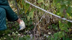 Gardener removes shears branch Stock Footage