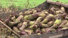 Red turnips, Farmer harvesting beets Stock Footage
