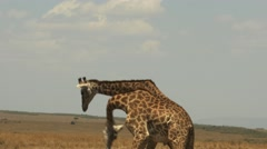 Two male giraffe necking to establish dominance  in masai mara game reserve Stock Footage
