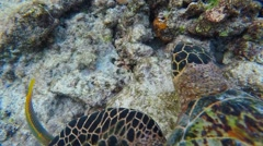 Snorkelling in the Maldives. Rare Hawksbill sea turtle Stock Footage