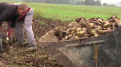 Red turnips harvesting Stock Footage