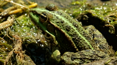 Green frog in the pond Stock Footage