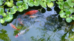 Multicolored Ornamental Fishes Pond Water Reflection Stock Footage