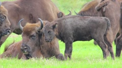 European Bison. Calf with female. Stock Footage