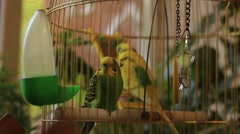 Parrots sitting in the cage Stock Footage