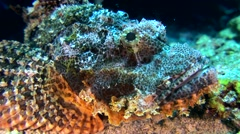 Tasseled scorpionfish (Scorpaenopsis oxycephala), close up head Stock Footage