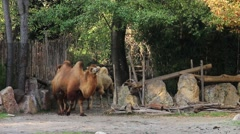 A caravan of four Bactrian camels. Stock Footage