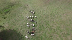 Aerial View of herd of cows at field in Brazil Stock Footage