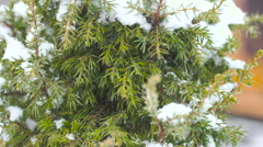Juniper in the snow Stock Footage