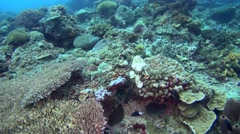 Devil or Humpback scorpionfish (Scorpaenopsis diabolus) crawling on top of coral Stock Footage