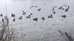 Wild ducks swimming in a winter lake Stock Footage