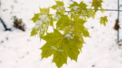 Yellow maple leaves in snowy weather Stock Footage