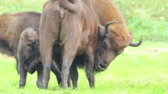 European Bison. Calf sucking the udder. Stock Footage