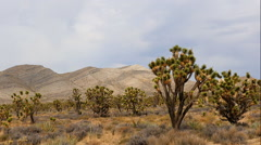 Zoom Out - Joshua Trees in the Scenic Mojave Desert Stock Footage
