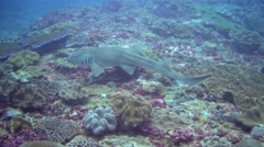 Tawny nurse shark (Nebrius ferrugineus) swimming over reef Stock Footage