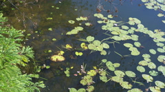 Nymphaea with beautiful big leaves Stock Footage
