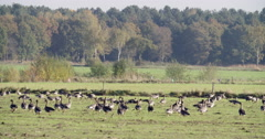 Bean geese eating in a meadow Netherlands Stock Footage